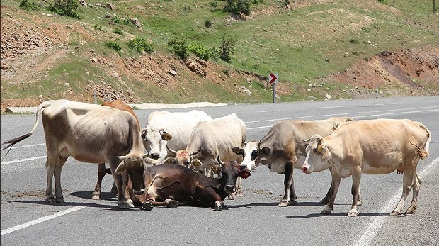 Sürüdeki inekler yaralı ineği bırakmadı