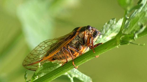 Affet bizi Ağustos Böceği!
