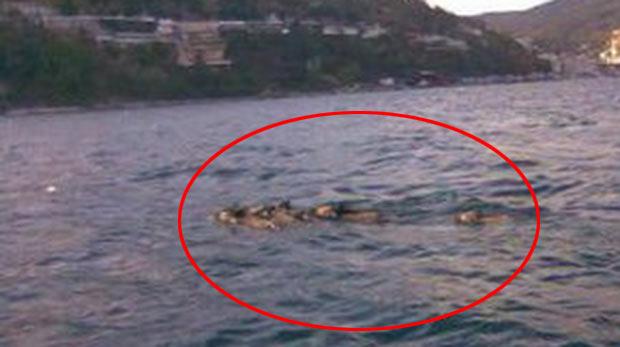 İstanbul Boğazı'nda domuzlar yüzdü
