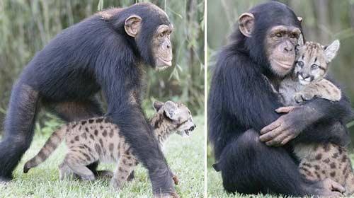 Leopara Annelik Yapan Şempanze
