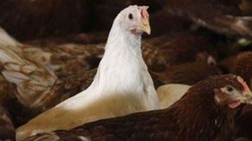 Tavuk Tüyünden Plastik