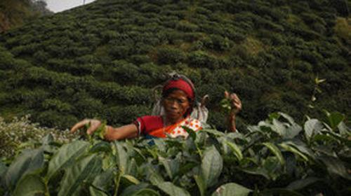 İklim Değişikliği Çayın Tadını Kaçırdı