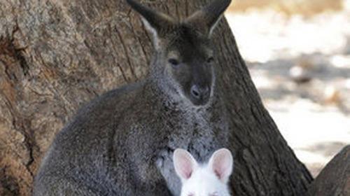 Kangurulara Özel Diş Macunu