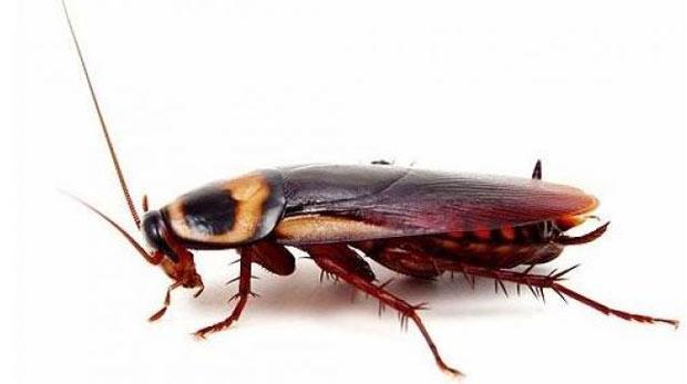Çare hamamböceği!