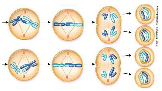 Mayoz ve mitoz hücre bölünmesi