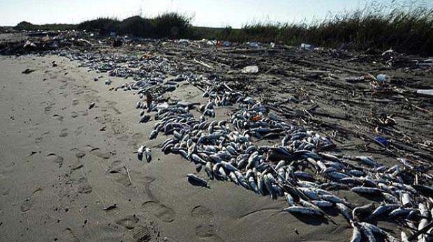Mersin'de binlerce ölü balık sahile vurdu
