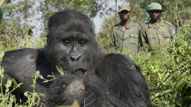 Dünyanın en büyük gorilleri