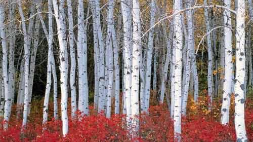 Kavak Ağacı Tarih Mi Oluyor?