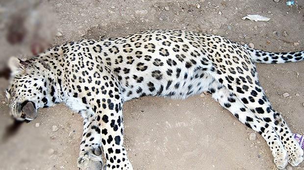 Diyarbakır'daki leoparın sırrı ortaya çıktı