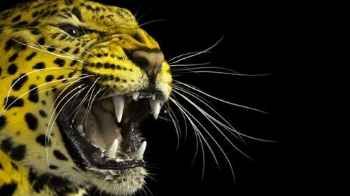Seri katil leoparın başına ödül kondu