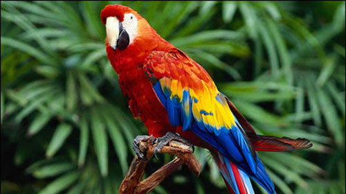 İngilizce Öğretmeni Papağanlar