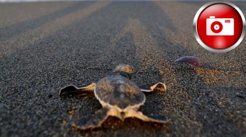 Kaplumbağaların Yaşama Koşusu