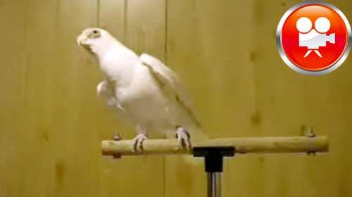 Papağan Apaçi Dansı Yapıyor!