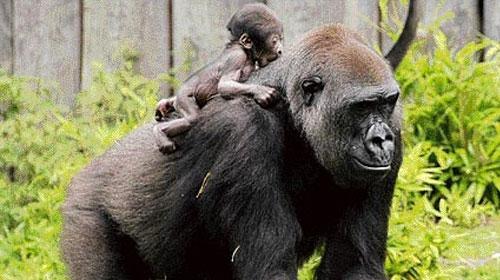 Goriller de bebeklerine 'agu' diyor