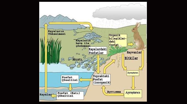 Fosfor döngüsü nedir? Nasıl gerçekleşir?