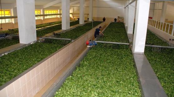 ÇAYKUR mevsimlik işçi alımı yapacak