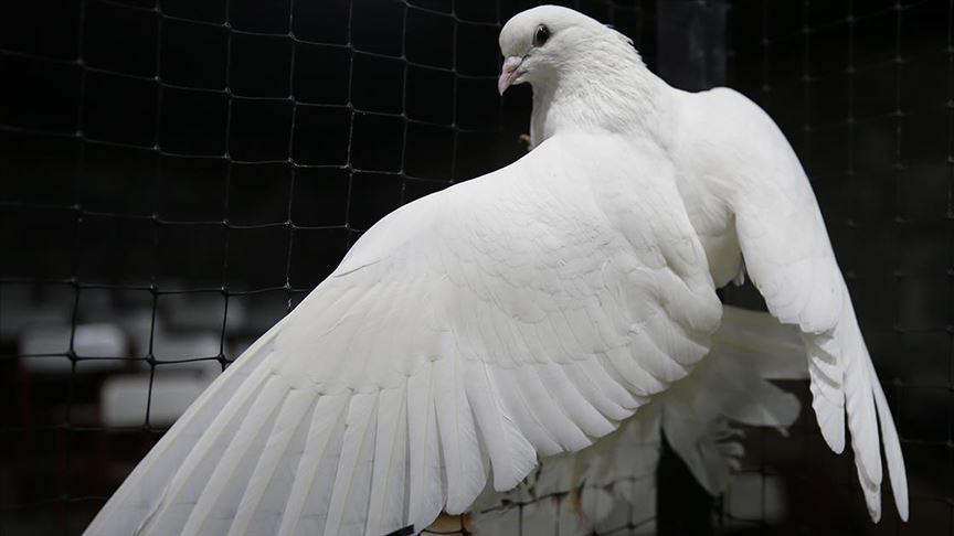 Güvercinlerin mezatlarda binlerce liraya alıcısı bulunuyor
