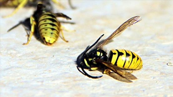 İklim değişikliği yaban arılarının neslini tehdit ediyor