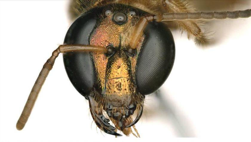 Yarısı erkek yarısı dişi bir arı keşfedildi