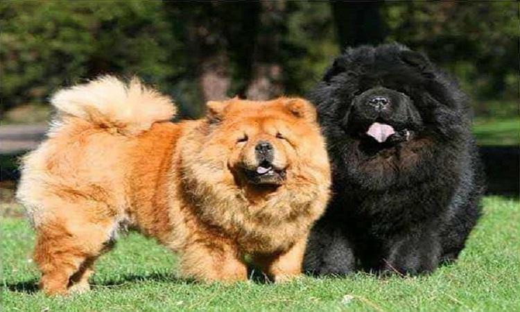 Aslan Yeleli Bir Köpek : Çin Aslanı