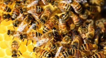 Bal arısı zehri bazı meme kanseri hücrelerini yok ediyor
